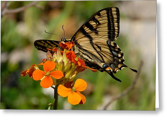 Tigertail Greeting Card by David Lee Thompson