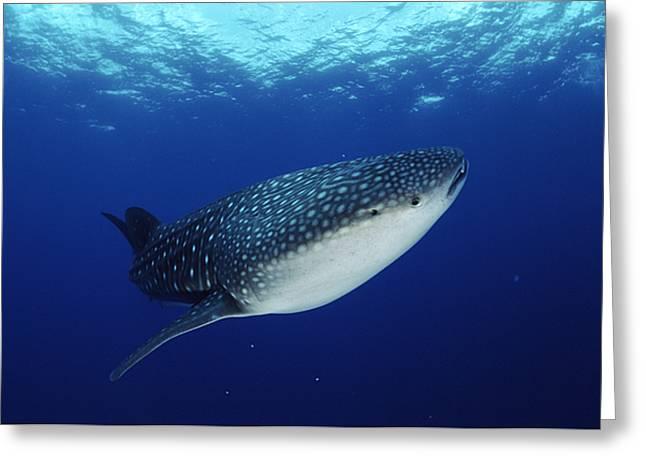 Whale Shark Rhincodon Typus Greeting Card by Jurgen Freund
