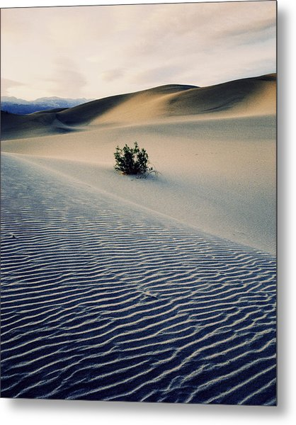 Bushes In Sand Dunes At Dusk Metal Print by Gary Yeowell