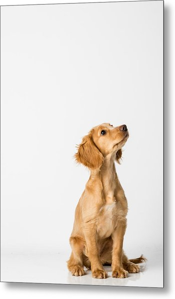 Close-up Of Dog Sitting Against White Background Metal Print by Peter Rose / EyeEm