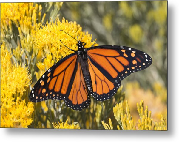 Colorful Monarch Butterfly Denver Colorado Metal Print by Milehightraveler