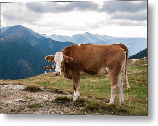 Cows On Field Against Mountains Metal Print by John Thurm / EyeEm