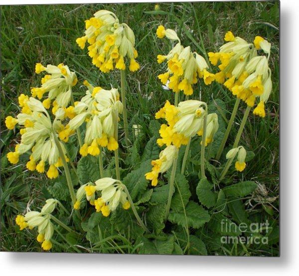Cowslips Wildflowers. Metal Print by Ann Fellows