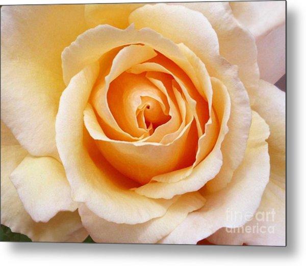 Creamy Orange Rose Blossom Metal Print