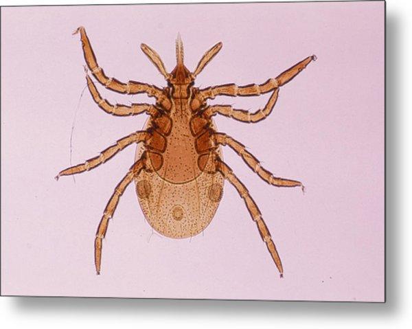 Deer Tick Nymph. Ixodes Dammini. Vector Of Lyme Disease. Head Contains Formidable Piercing Organ (hypostome). 10x Metal Print by Ed Reschke