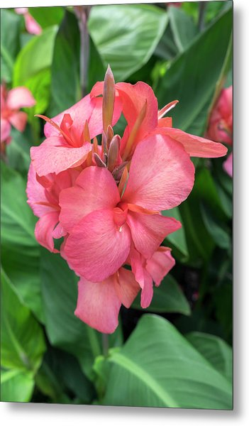 Hybrid Cana Lily, Usa Metal Print
