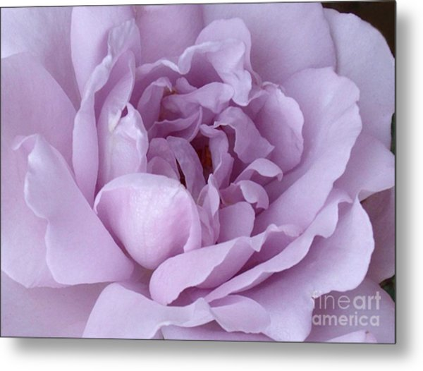 Lavender Rose Chaos Metal Print