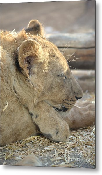 Lion Cub Dozing In The Sun Metal Print