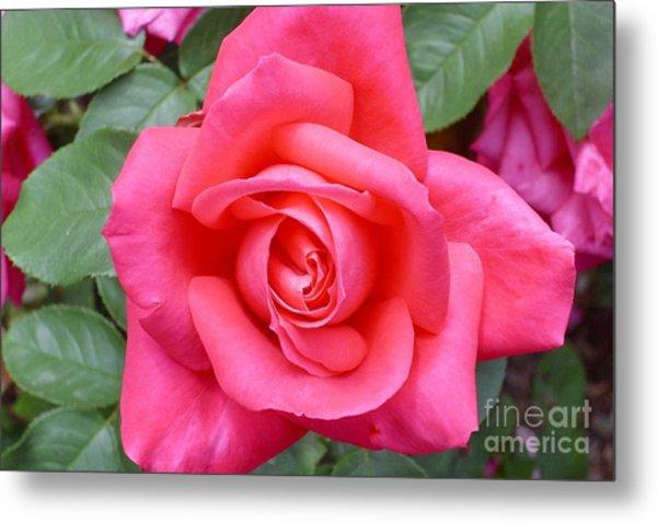 Magenta Rose Magic Metal Print