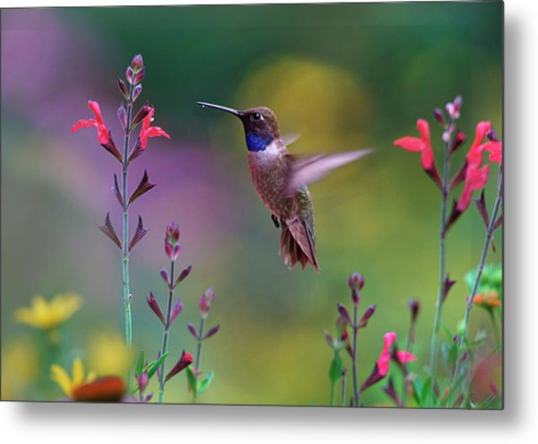 Male Black-chinned Hummingbird Metal Print