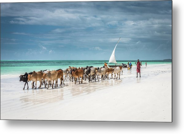 Masai Cattle On Zanzibar Beach Metal Print