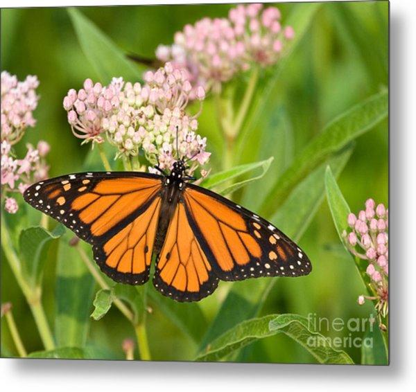 Monarch On Pink Metal Print
