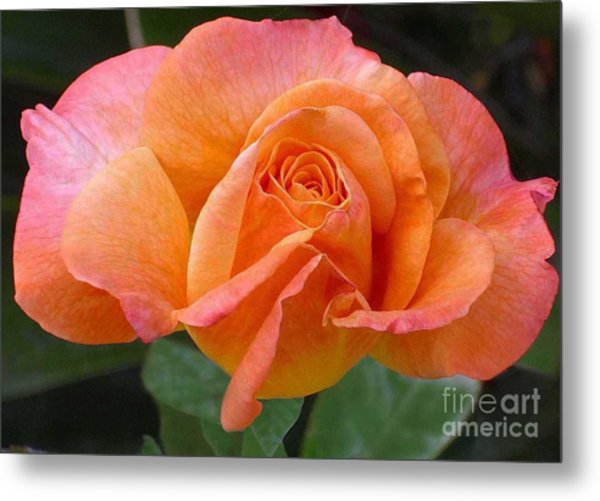 Orangerine Rose Metal Print