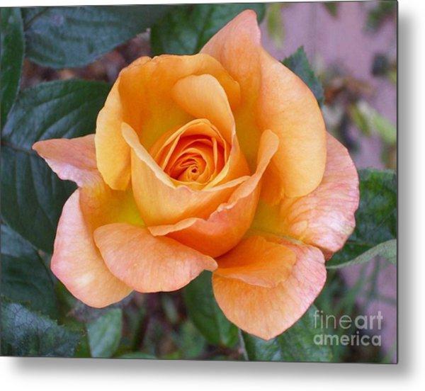 Pale Orange Rose Metal Print