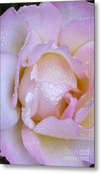 Pink Rose With Morning Mist Metal Print