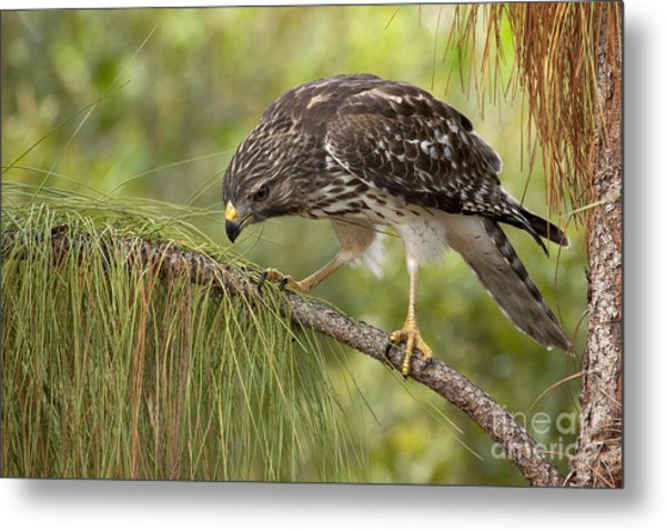 Red Shouldered Hawk Photo Metal Print