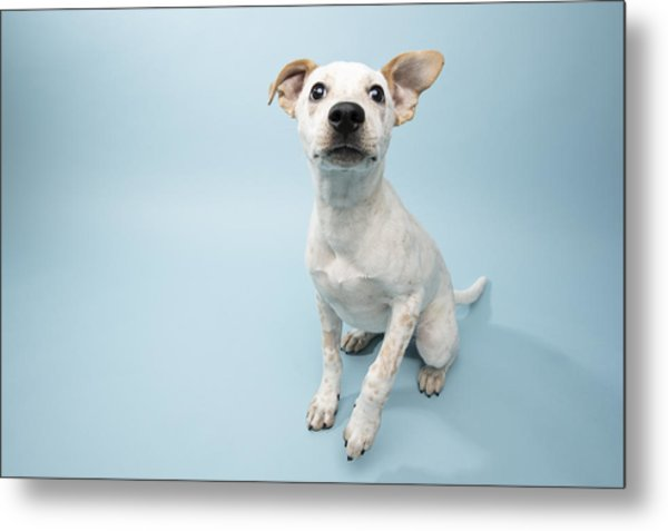 Rescue Animal - Cattle Dog Mix Puppy Metal Print by Amandafoundation.org