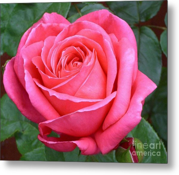 Royale Magenta Rose Metal Print