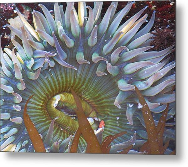 Sea Anemone Metal Print by Donna Leach
