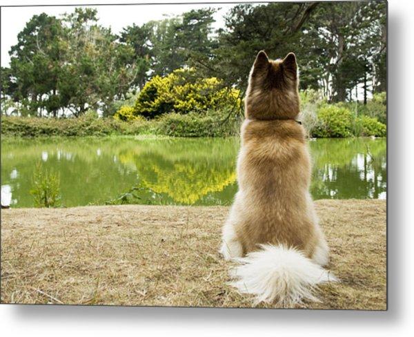 Siberian Husky Admiring Lake View, San Francisco, California, Usa Metal Print by Bojana Korach