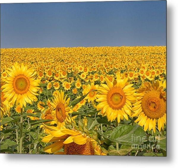 Sunflower Field Metal Print