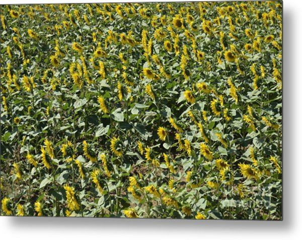Sunflowers In Chianti Metal Print by Sami Sarkis