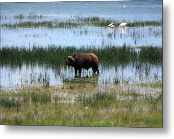 Water Buffalo At Lake Nakuru Metal Print