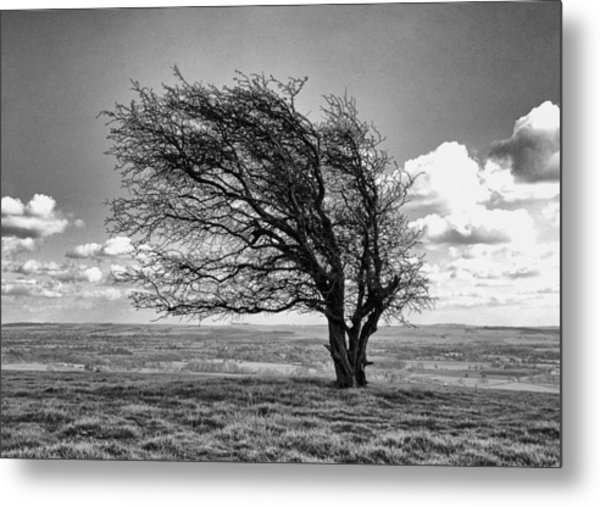 Windswept Tree On Knapp Hill Metal Print