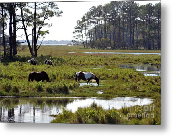 Assateague Wild Horses Feeding Metal Print