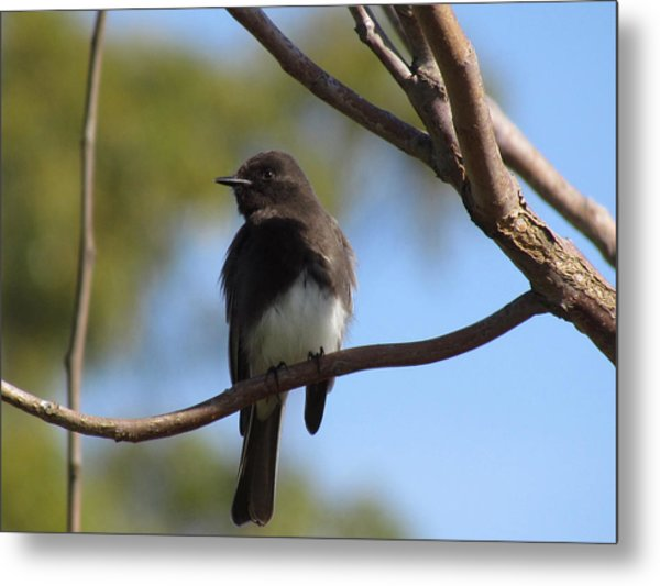 Black Phoebe Metal Print