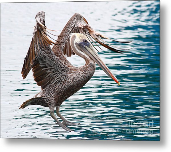 Brown Pelican . 7d8253 Metal Print by Wingsdomain Art and Photography