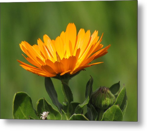 Calendula Bloom Metal Print