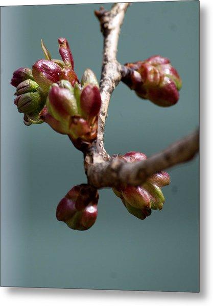 Cherry Blossom Number 4 Metal Print