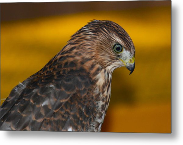 Coopers Gold Metal Print