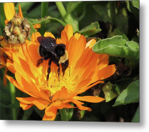 Feeding In Calendula Metal Print
