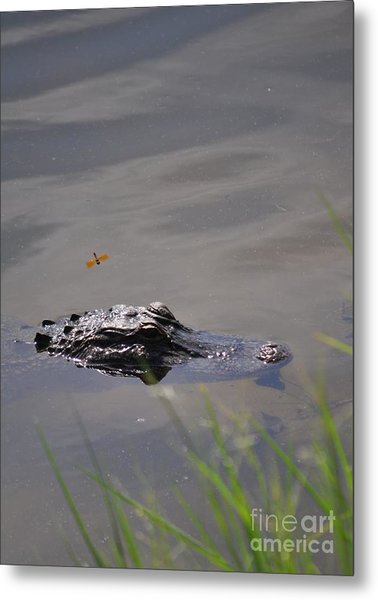 Florida Alligator  Metal Print