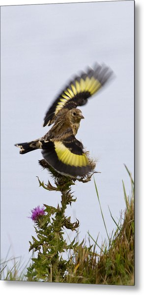 Goldfinch On Thistle Metal Print