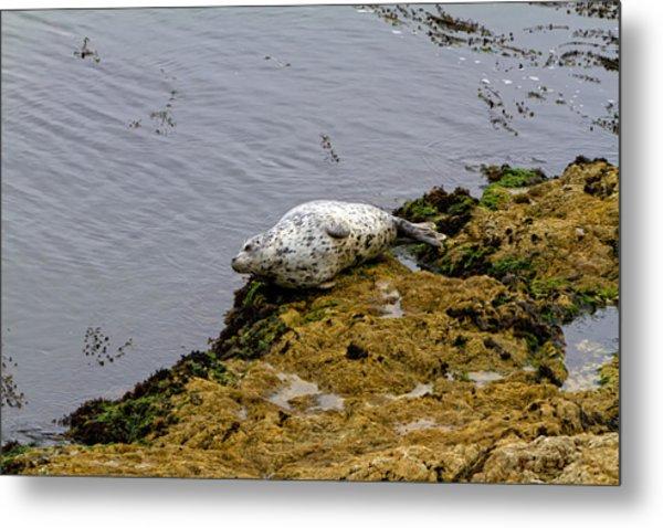 Harbor Seal Taking A Nap Metal Print