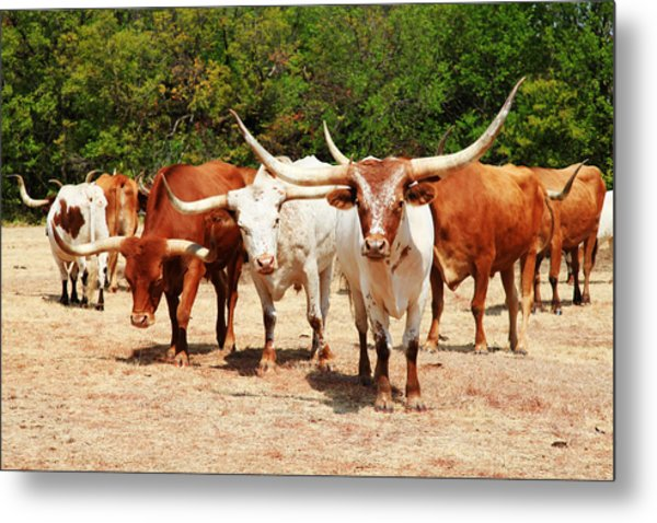 Some Long Horns Ya Got There Metal Print