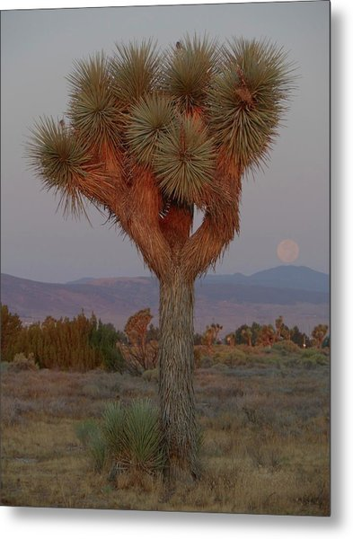 Joshua Tree And Moon Setting Metal Print