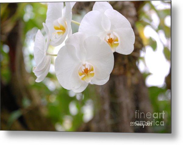 Phalaenopsis Aphrodite Moon Orchid Metal Print