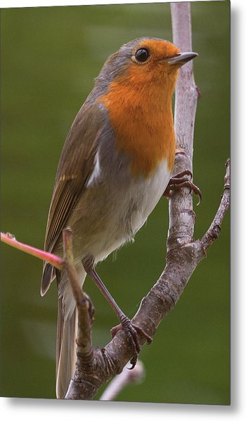 Portrait Of A Robin Metal Print