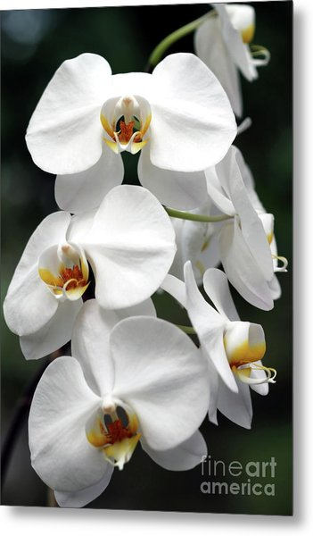 The Beauty Of Orchids  Metal Print