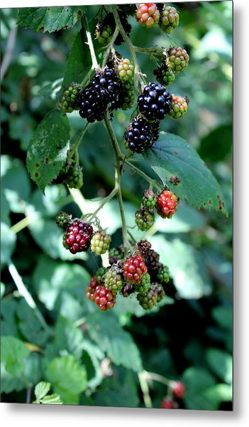 Wild Oregon Blackberries Metal Print