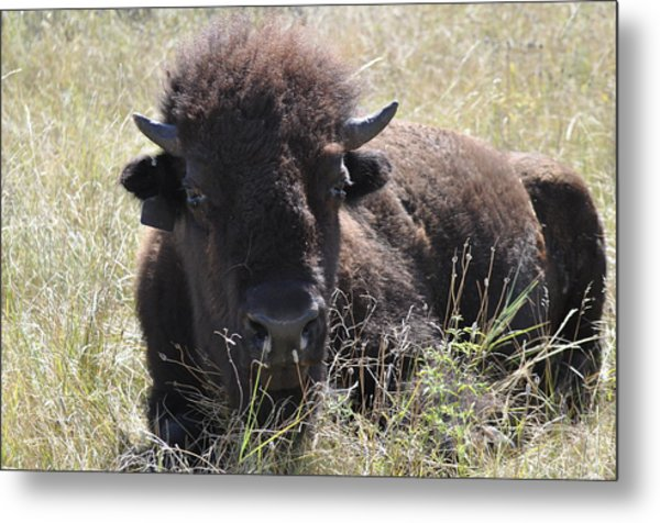 Big-haired Yearling Buffalo Metal Print