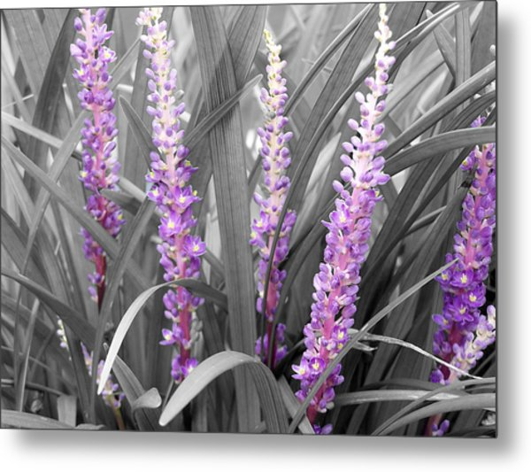 Liriope In Color Metal Print by Evelyn Patrick