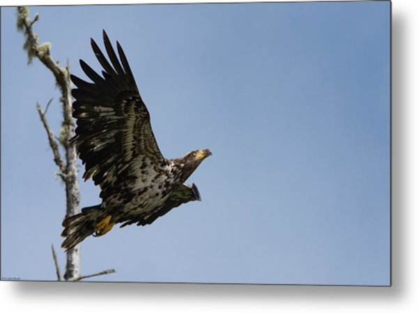 Bald Eaglet Metal Print