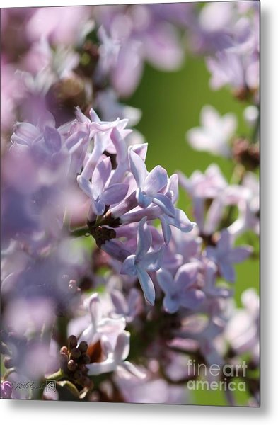 Common Purple Lilac Metal Print