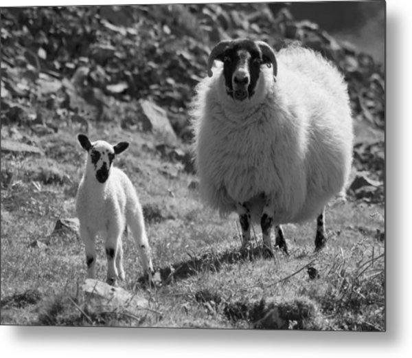 Ewe And Lamb No2 Metal Print by John Cox