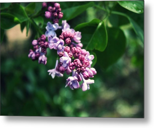 Lilac Metal Print by Cathie Tyler